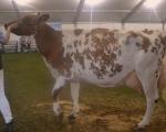 aged-cow.jpg